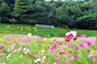 主催イベント:コスモス無料花摘み大会の画像