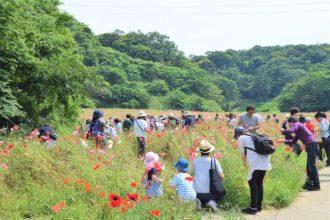 主催イベント:ポピー無料花摘み大会の画像