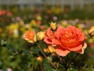 主催イベント:2021 秋ローズ  Autumn Roseの画像